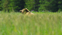 Brown female Bear upright and aware before running grasslands - stock footage