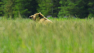 Stock Video Footage of Brown female Bear upright and aware before running grasslands