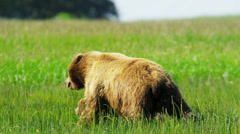 Running Canadian female Brown Bear with cubs, Canada Stock Footage