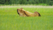 Stock Video Footage of Female Brown Bear Ursus arctos resting in rich vegetation, Alaska, USA