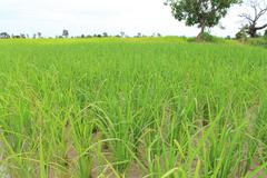 the rice sapling are growing up in rice field - stock photo