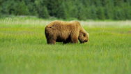 Stock Video Footage of Brown Bear Ursus arctos feeding from rich vegetation in, Alaska, USA