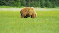 Brown Bear Ursus arctos feeding from rich vegetation - stock footage