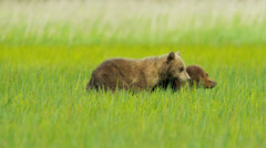 Adult female and young Brown Bear cubs on Wilderness grasslands, Alaska, USA - stock footage