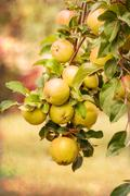Stock Photo of red apples on apple tree branch, old color image style