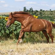 Beautiful horse running in front of sunflowers Stock Photos