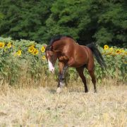 beautiful horse running in front of sunflowers - stock photo