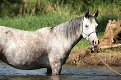 nice mare bathing in the river - stock photo