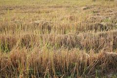 rice field after reap and the second life are growing up - stock photo