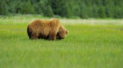 Brown Bear feeding from rich vegetation in summer National Park, Alaska, USA - stock footage