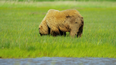 Brown Bear feeding on rich vegetation in summer Lake Clark National Park, Alaska - stock footage