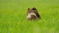 Young Bear cubs playing in grasslands in summer  National Park, Alaska Stock Footage