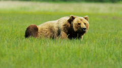 Brown Bear relaxing  Wilderness grasslands - stock footage