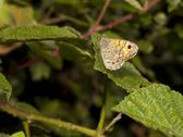 Stock Photo of wall brown butterfly