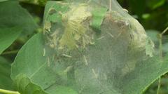 Fall Webworm Moth (Hyphantria cunea) Caterpillars 1 Stock Footage