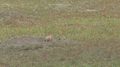 P02923 Prairie Dogs in Urban Environment Stock Footage