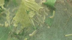 Fall Webworm Moth (Hyphantria cunea) Caterpillars 2 Stock Footage