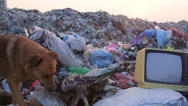 Stock Video Footage of Homeless dog looking for food in landfill
