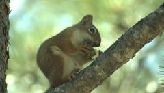 P02913 Red Squirrel Feeding on Pine Cone Stock Footage
