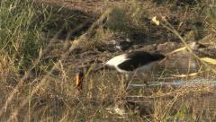 P02908 Saddle-billed Stork Feeding in Wetland Stock Footage