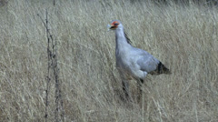 P02904 African Secretary Bird in Grassland Stock Footage