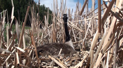 P02912 Canada Goose on Nest in Marsh Alarmed Stock Footage