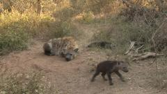 P02902 Spotted Hyena Family in South Africa Stock Footage