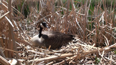 P02911 Canada Goose Setting on Nest in Marsh Stock Footage