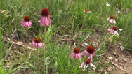Stock Video Footage of P02922 Purple Prairie Coneflowers