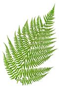 Green sprig of fern Stock Photos