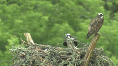P02930 Osprey Pair Working on Nest Stock Footage