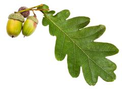 green oak leaf and acorns - stock photo