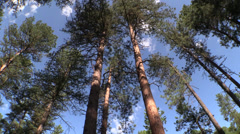 P02940 Old Growth Ponderosa Pine Forest in Western USA - stock footage