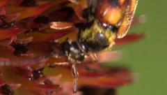 P02944 Extreme Closeup of Beetle with Pollen Stock Footage