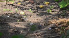 Sparrows taking a shower in the dust Stock Footage