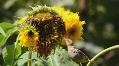 sparrows eating sunflower seeds - stock footage