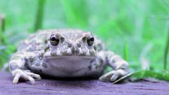 Common toad look to camera with pensive expression - stock footage