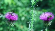Stock Video Footage of two bees on purple thistle