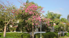 Silk-cotton tree blossoming Stock Footage