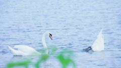 Two lonely white swan search secret treasure Stock Footage