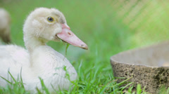 Duck lying on green grass 1 Stock Footage