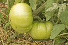green tomatos - stock photo
