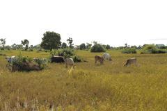 Cow - oxen - livestock - countryside of Cambodia Stock Photos