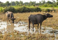 cow - oxen - livestock - countryside of Cambodia - stock photo