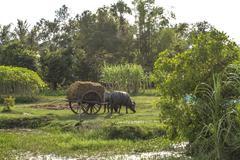 Farm and landscape - oxen pull cart - Cambodia - stock photo