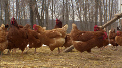 Chickens near the Coop - stock footage