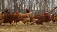 Stock Video Footage of Chickens near the Coop HD