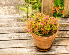 variegated geranium in a clay pot - stock photo