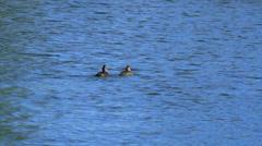 Askersund Bay ducks Stock Footage