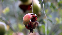 Pomegranate Stock Footage